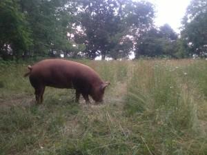 Halvah grazing